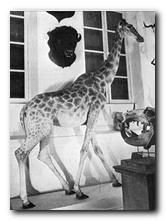 Girafe offerte à Charles X, passée par Eyragues